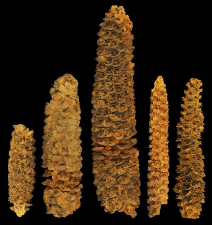 Five ancient corn of varying ages and sizes set against black background