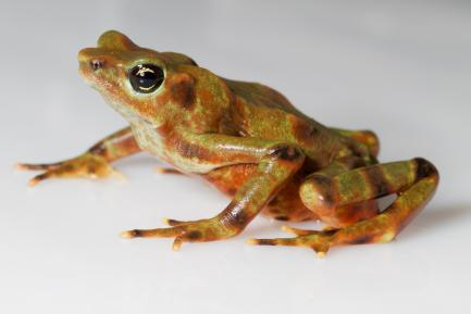 brown spotted frog