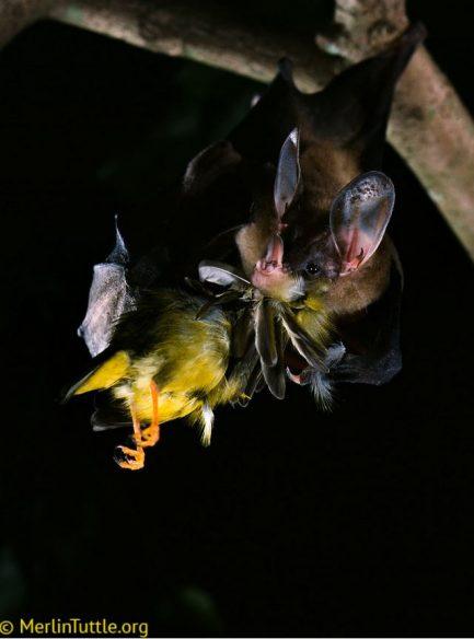 Bat eating a bird