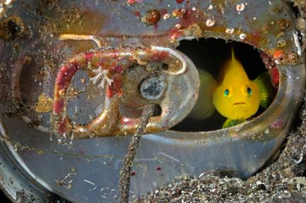 yellow goby hiding in aluminum can