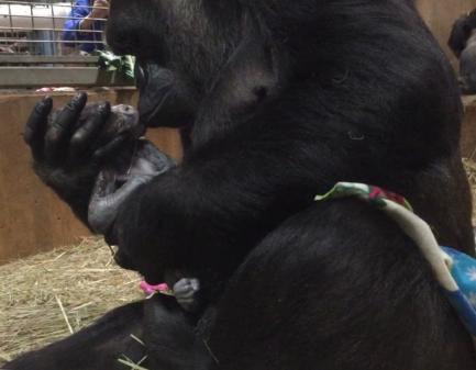 Baby Gorilla Moke