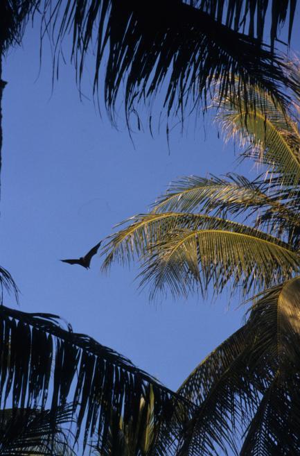 Mortlock Islands Flying Fox