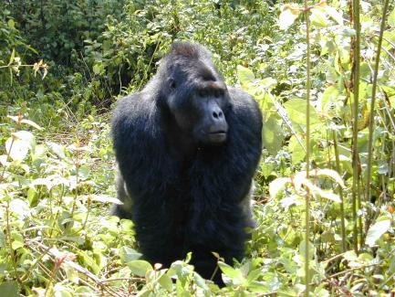 Gorilla named Mugaruka