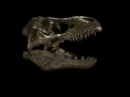 T. rex Skull on Black