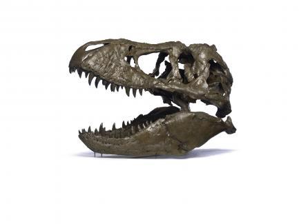 T. rex Skull on White