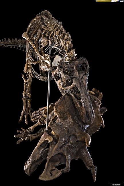T rex fossil