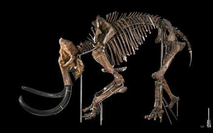 Woolly mammoth (Mammuthus primigenius)