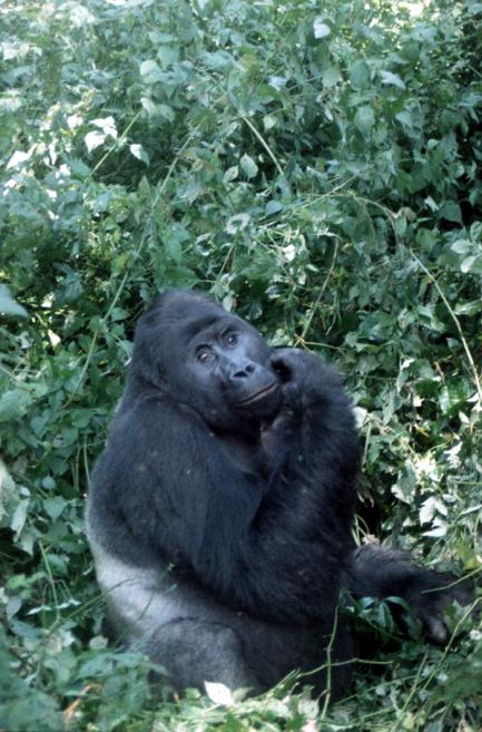Gorilla named Ninja