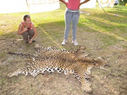 Researcher looks at jaguar skin spread out on the ground
