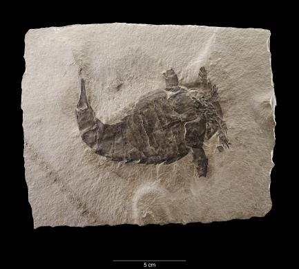 Eurypterus remipes