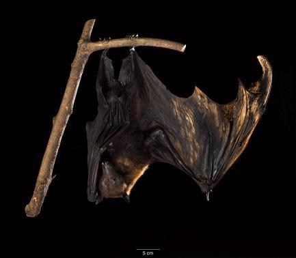 Bat specimen