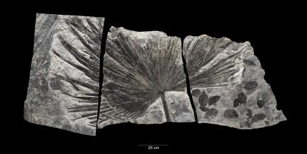 fossil palm leaf (Sabalites sp.),