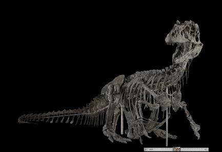 Allosaurus fragilis