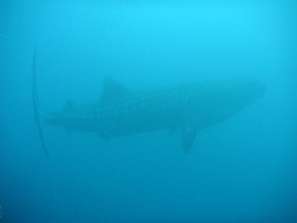 shark in murky water