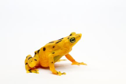 Yellow frog with black spots