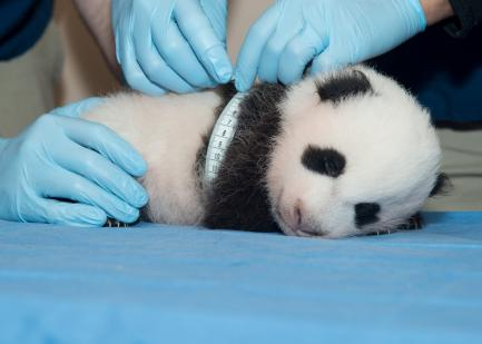 Panda Cub Measured