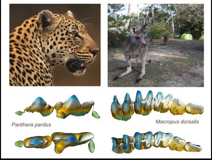 Computer generated comparison of cheetah and kangaroo teeth