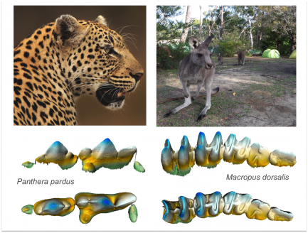 Computer generated comparison of cheetah and kangaroo teeth