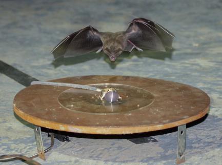 Bat attacking noisemaker