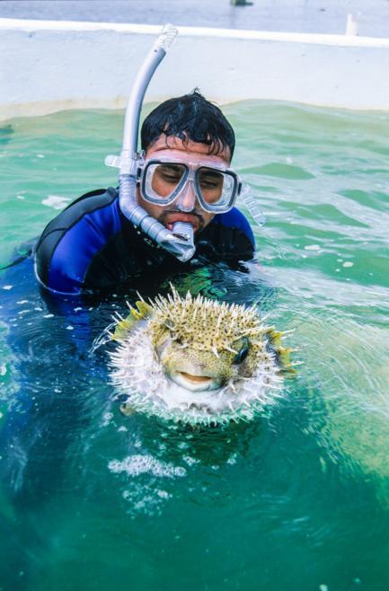 Diver holding porcupine fish