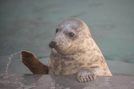 Gray Seal pup Rona