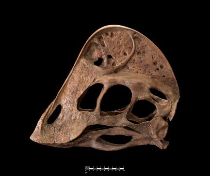 skull of Anzu wyliei