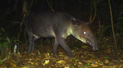 Tapir recorded by camera trap