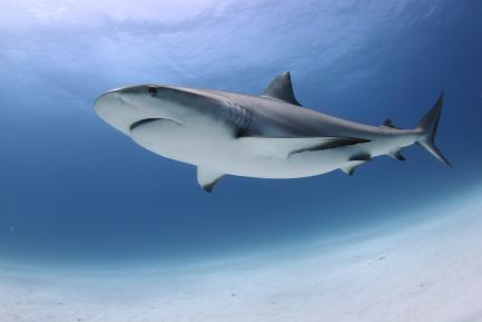 artists rendering of shark