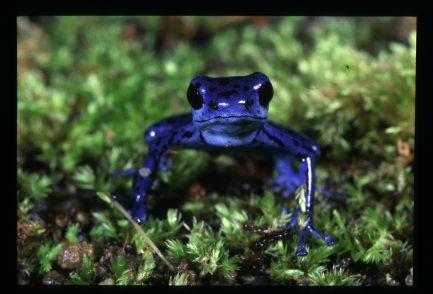 Bright blue strawberry Poison Dart Frog.