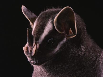 Tent-making bat, Uroderma bilobatum
