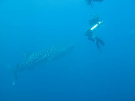 Whale shark with diver