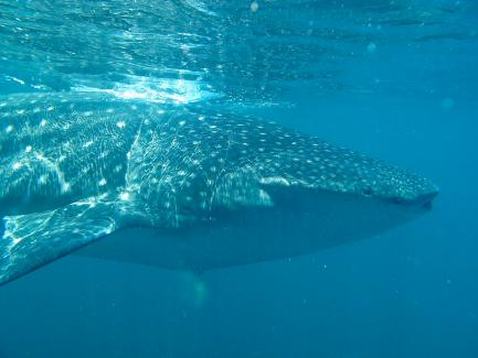 side view of whale shark