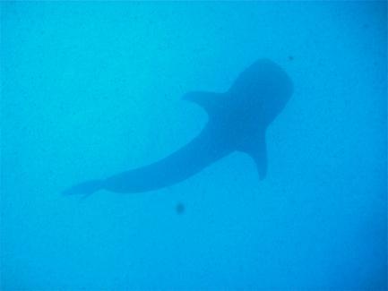 shark seen from beneath