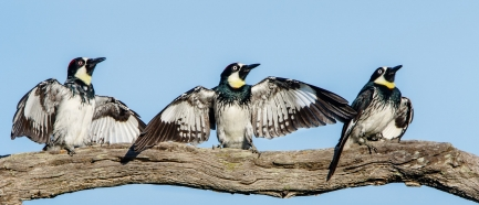 Three woodpeckers on a branch