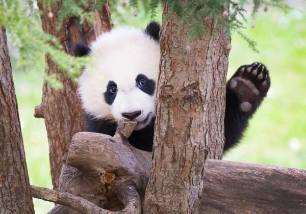 Giant panda Bei Bei in a tree.