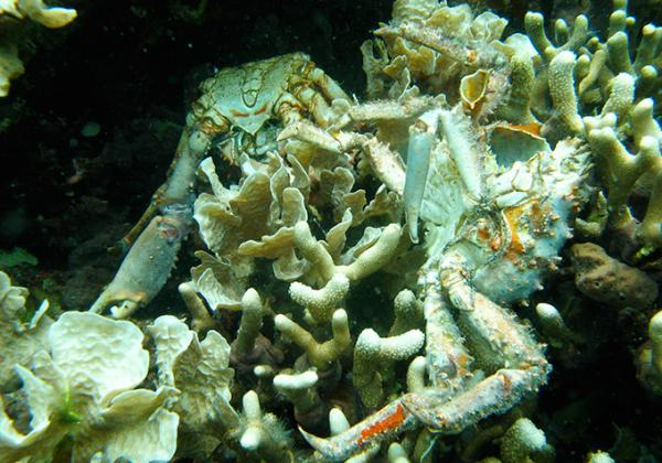 Crabs were flushed from reef crevices