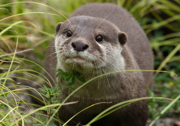 Asian small clawed otter.