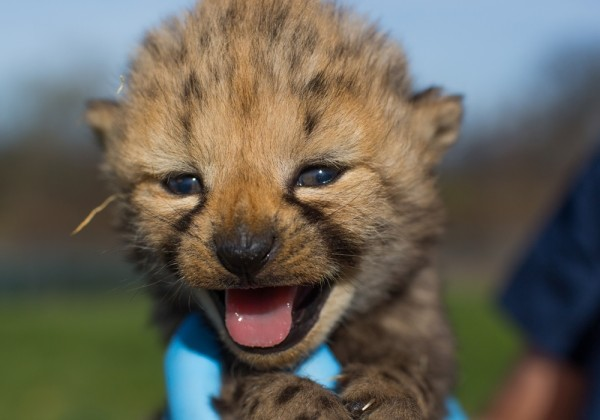 cheetah cub born in 2017