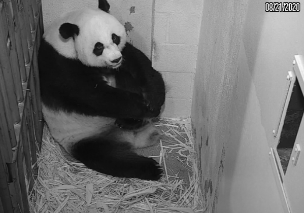 Pandcam showing panda cub.