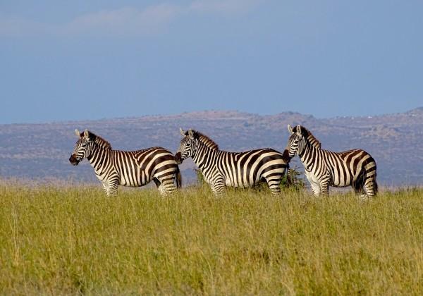 3 zebras in the wild.