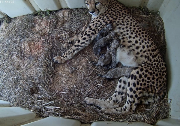 Rosalie with 5 cubs