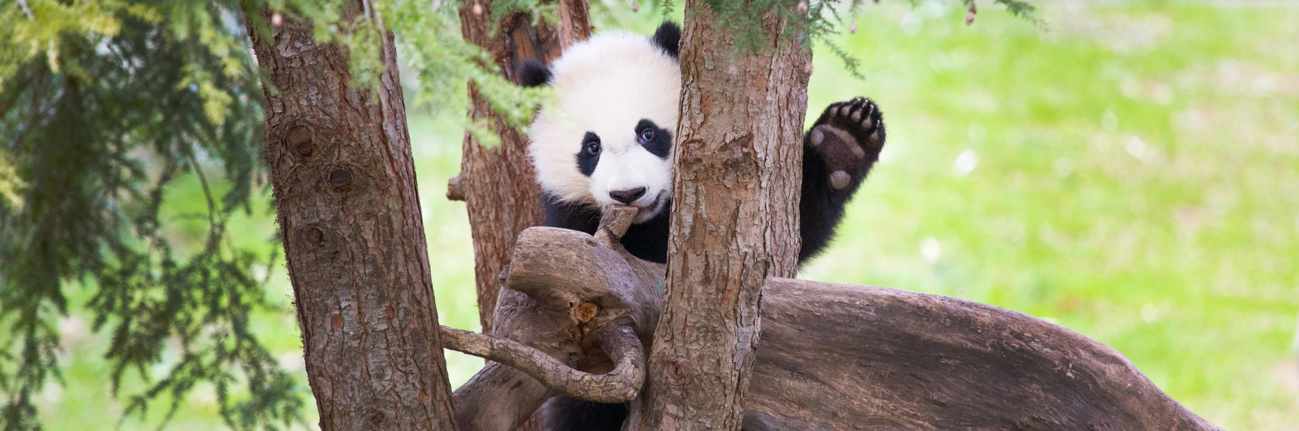 Giant panda Bei Bei in a tree.