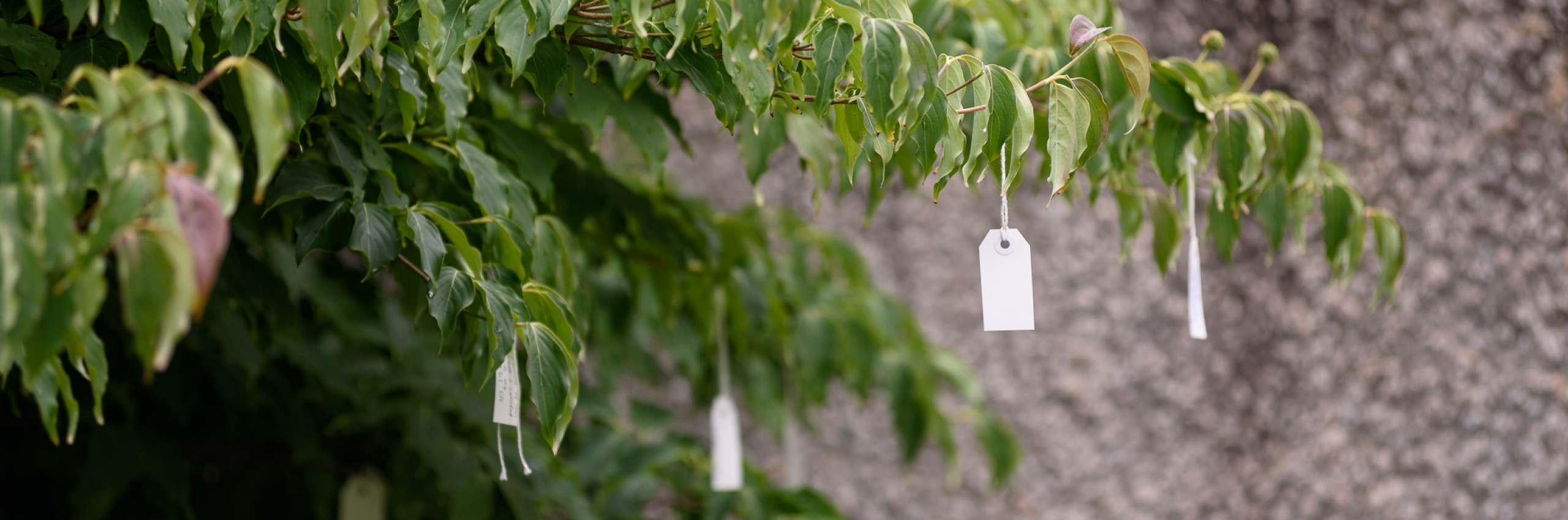 Yoko Ono's Wish Tree with white tags with wishes