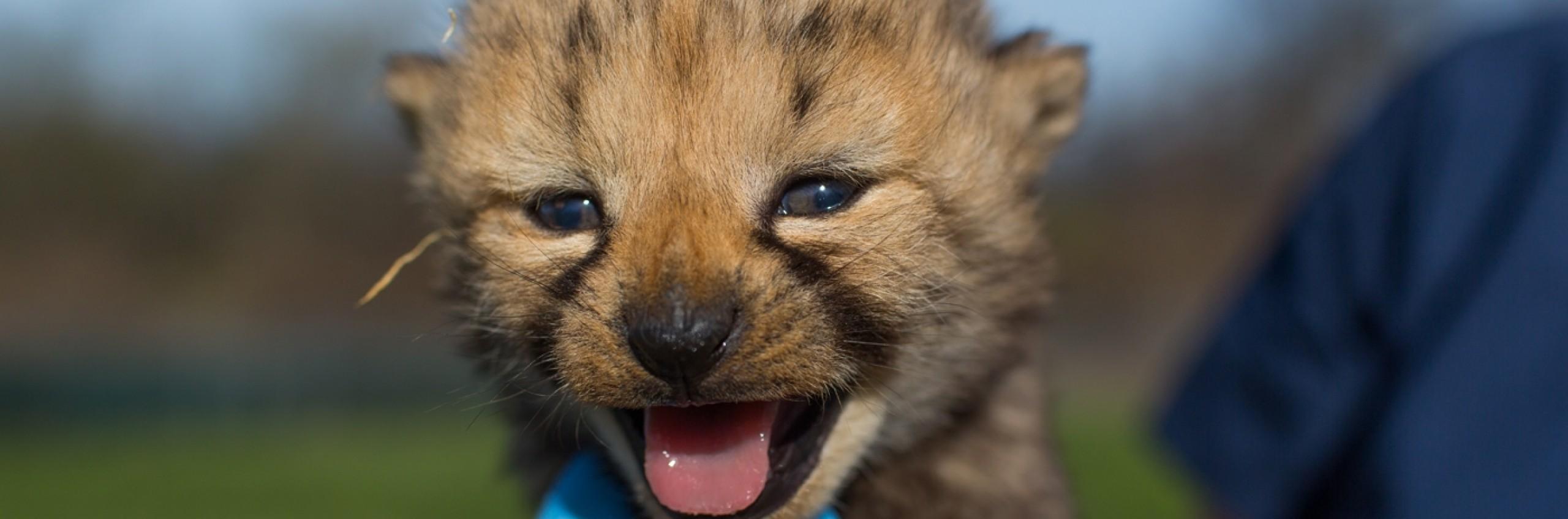 cheetah cub born in 2017