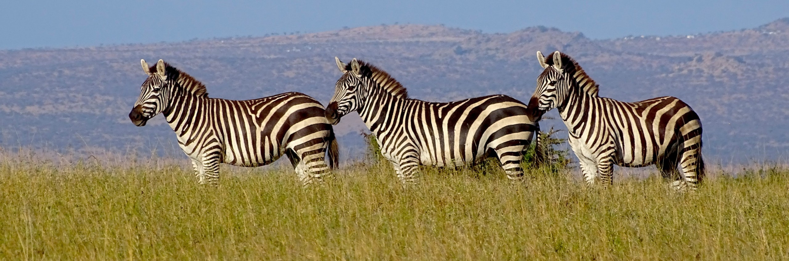 3 zebras in the wild.