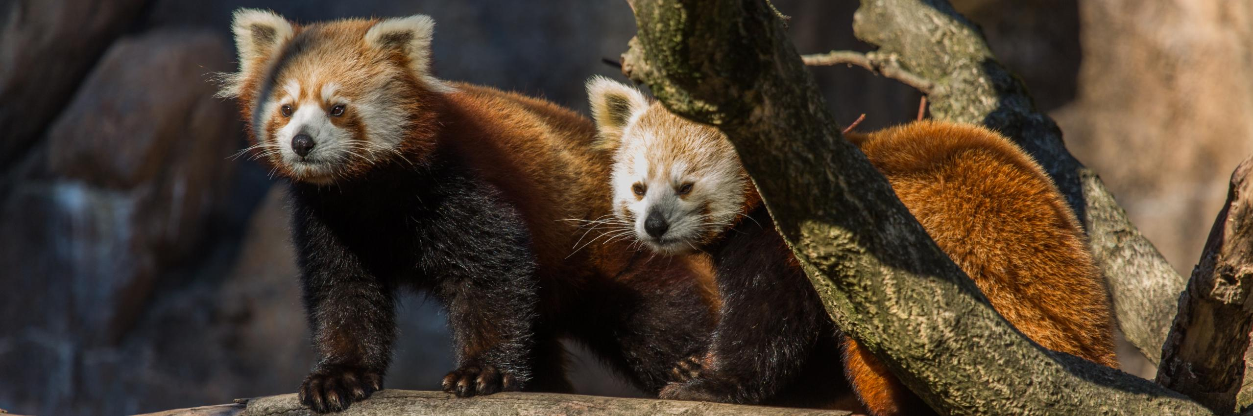 Red Pandas Nutmeg and Jackie