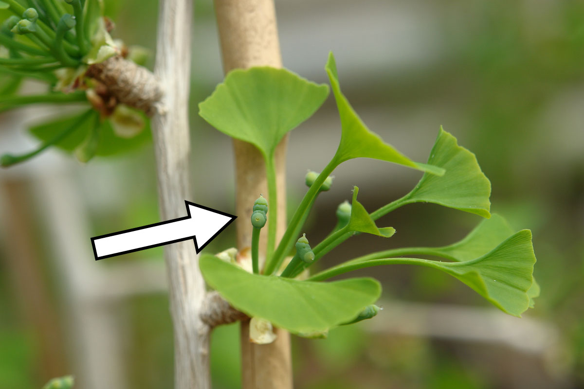 Ovules among leaves on a female ginkgo tree.