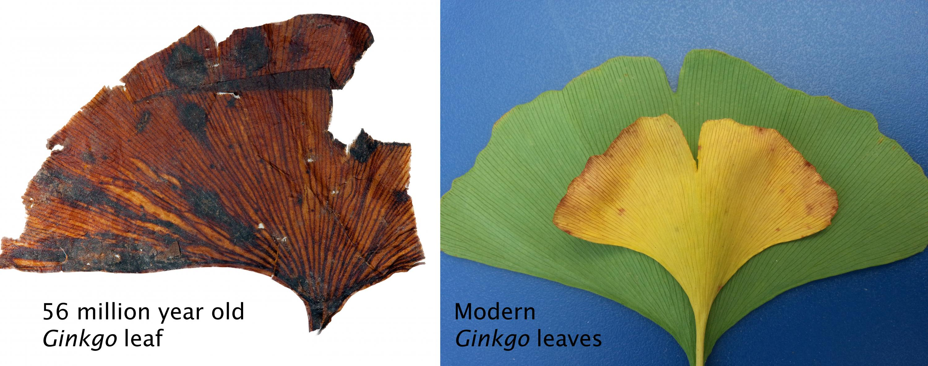 Comparison of fossil and modern Ginkgo leaves.