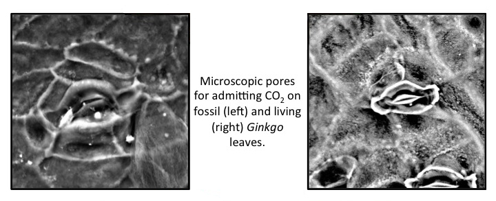 Comparison of pores in fossil and living Ginkgo leaves.